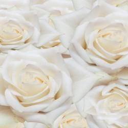 Photo mural beautiful roses in cream color