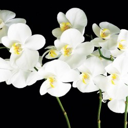 Photo mural white orchids twig on black background 2
