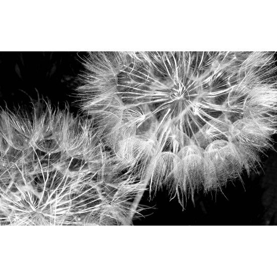Photo mural 2 variants of dandelions on a black background