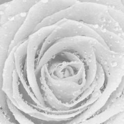 Photo mural big white rose