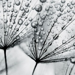 Photo mural grey dandelion with water drops