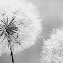 Photo mural delicate dandelion in grey gamut