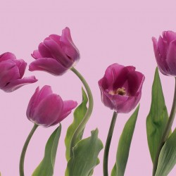 Photo mural arranged pink tulips on a white background
