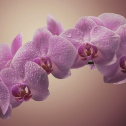 Wall mural light-purple orchid branch