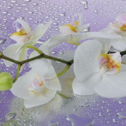 Photo mural orchid branch in purple background with water drops