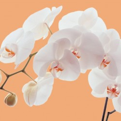 Wall mural orchid branch in orange background