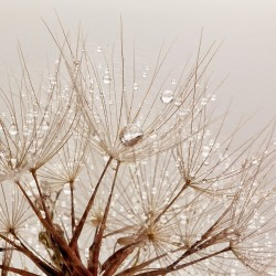 Wall mural dandelion with crystal water drops