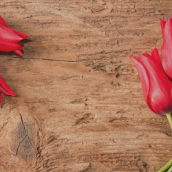 Wallpapers mural red tulips on wooden background