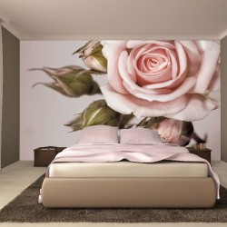 Wall mural beautiful light pink rose