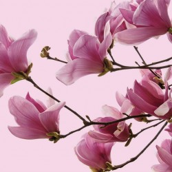 Photo Wall murals magnolia tree twig on pink background