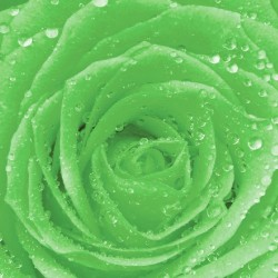 Photo mural green rose with water drops
