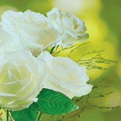 Photo murals bouquet of white roses on a green background