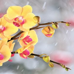 Photo murals yellow orchids on a gray blurred background