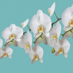 Photo mural orchid branch in blue background