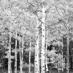 Photo mural birch forest in black and white gamut