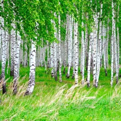 Photo mural birch forest spring look