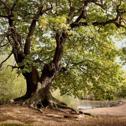 Photo mural majestic tree green color
