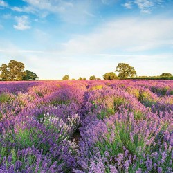 Photo mural beautiful landscape on a field with colorful lavender