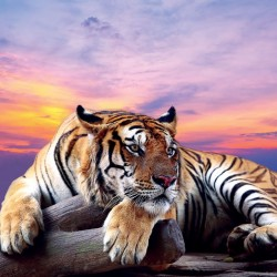 Photo mural purple sunset with a big tiger