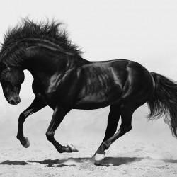 Wall mural beautiful black horse in 2 colors