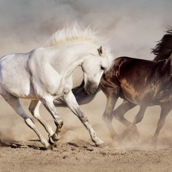 Photo mural a pair of horses in a gallop