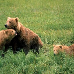 Photo mural brown bears on a meadow