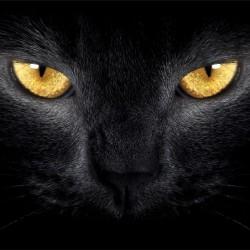 photo murals a black cat