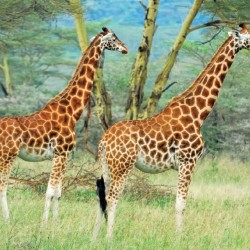 Wall mural couple giraffe on painted background